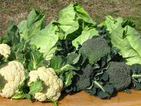 セルプ鹿児島野菜